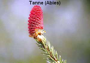 a_Tanne5