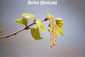 a_birke7