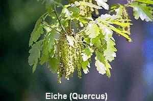 a_eiche7
