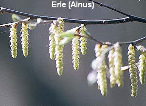 a_erle6