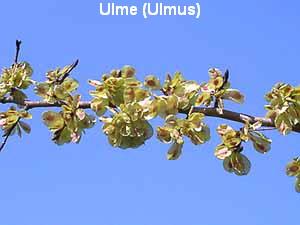 a_ulme1
