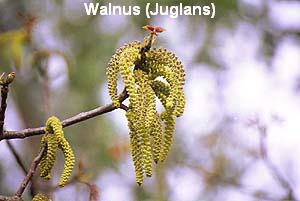 a_walnuss3